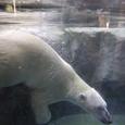 シロクマの潜水