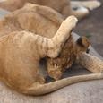 ライオンのヨガ