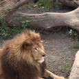 ライオンのフセ