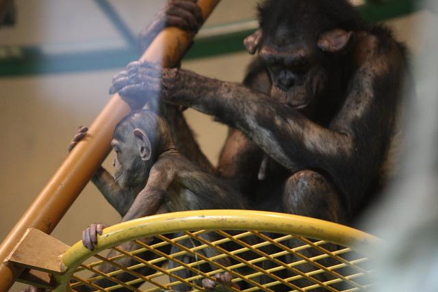 チンパンジーの親子